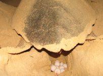 Puesta de huevos de una tortuga boba (Caretta Caretta) en las playas de Boavista, Cabo Verde